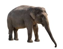 Young elephant female cutout. Young elephant female isolated on white with clipping path Stock Image