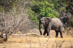 Young elephant in a forest Royalty Free Stock Photos