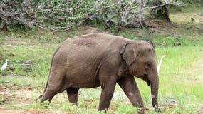 Young elephant freedom of wildlife royalty free stock photos