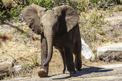 Young Elephant. At a game park in South Africa Royalty Free Stock Images