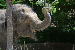 Young Elephant Grabbing Branch Stock Photo