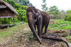 Young elephant grazing in a Thai village. On the background of the Asian jungle stock photo