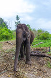Young elephant grazing in a Thai village. On the background of the Asian jungle royalty free stock image