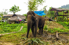 Young elephant grazing in a Thai village. On the background of the Asian jungle royalty free stock photography