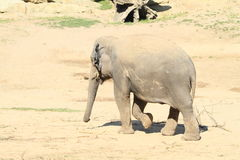 Young elephant Royalty Free Stock Images