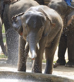 Young Elephant having fun in the water. Stock Photography