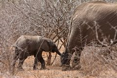 Young elephant holding her mothers tail Royalty Free Stock Photography