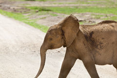 Young Elephant in Kenya Stock Image
