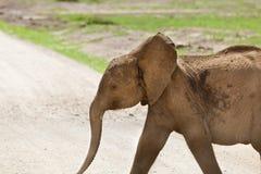 Young Elephant in Kenya Stock Image