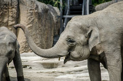 Young elephant laughing. And showing teeth Stock Photos