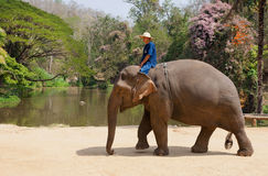 Young elephant and mahout going to tropical lake at Thai Elephant Conservation Center. LAMPANG, THAILAND - FEB 18: Young elephant and mahout going to tropical Stock Photos