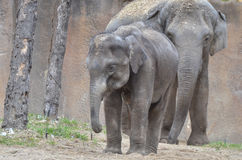 Young elephant and mother Stock Images