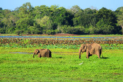 Young elephant with mother Royalty Free Stock Images