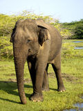 Young elephant in the national park Stock Photos