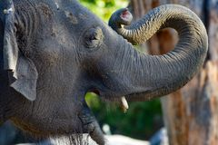 Young elephant opening its mouth and curling trunk stock photos
