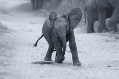Young elephant play on a road while family feed artistic convers Stock Image