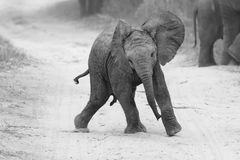 Young elephant play on road while family feed nearby in artistic Royalty Free Stock Photo