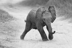 Young elephant play on road while family feed nearby in artistic. Young elephant play on a road while family feed nearby in artistic conversion stock photos