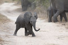 Young elephant play on a road with family feed nearby. Young elephant play on a road while family feed nearby Royalty Free Stock Image