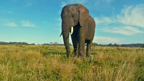 African elephant in prairie stock video