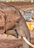 Young elephant in profile Royalty Free Stock Photo