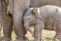 Young elephant Stock Photos