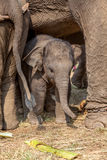 Young elephant Stock Photography
