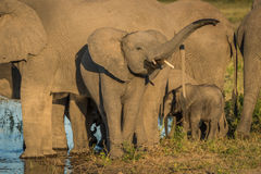 Young elephant raising trunk in golden light Royalty Free Stock Photos