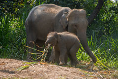 Young elephant right next to an adult one. Stock Photo