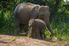Young elephant right next to an adult one. Stock Photos