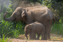 Young elephant right next to an adult one. Royalty Free Stock Photography