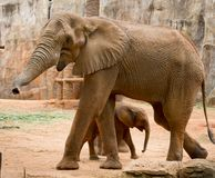 A young elephant right next to an adult one. Stock Image