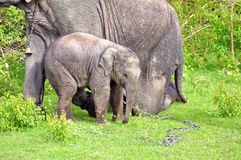 Young elephant right next to an adult one. Stock Photography