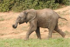 Young Elephant Running Stock Image