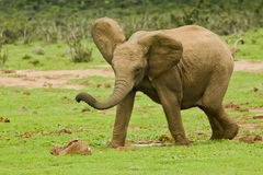 Young elephant stock images