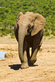 Young elephant running Royalty Free Stock Photos