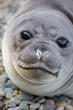 Young elephant seal Stock Photos