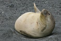 Young Elephant Seal stock photo