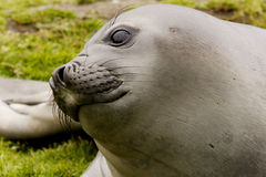 Young Elephant Seal. Closeup portrait of elephant seal pup lying on grass South Gorgia Island Stock Photography