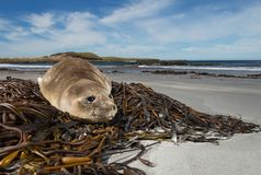 Young elephant seal on the beach, Falkland islands. Young elephant seal lying on seaweeds on the beach, Falkland islands Royalty Free Stock Photos