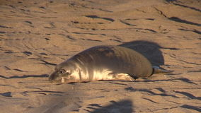 Young Elephant Seal stock video footage