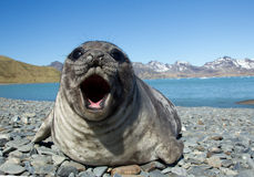 Young elephant seal Royalty Free Stock Images