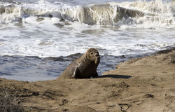 Young Elephant Seal coming out of the ocean. A young male Elephant Seal coming up on the beach out of the ocean royalty free stock photos
