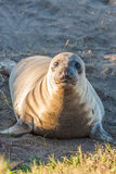 Young Elephant Seal Stock Photography