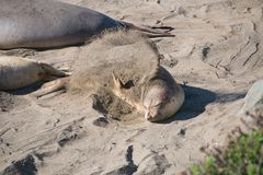 Young Elephant seal laying on the beach sanding in USA Stock Photos