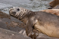 Young Elephant seal resting Stock Photo
