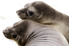 Young Elephant Seals Royalty Free Stock Photography