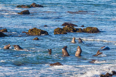 Young Elephant Seals Royalty Free Stock Image