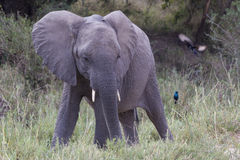 Young elephant searching for food Stock Photography