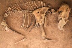 Young elephant skeleton graveyard. Royalty Free Stock Photos